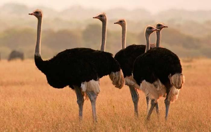 soñar con avestruz