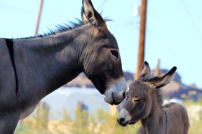 soñar con burros
