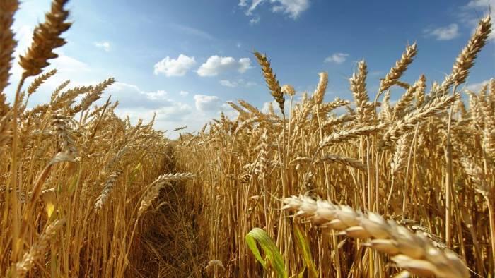 soñar con trigo