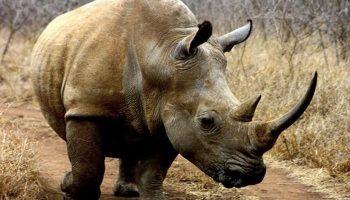 ¿Qué Significa Soñar con Rinoceronte?