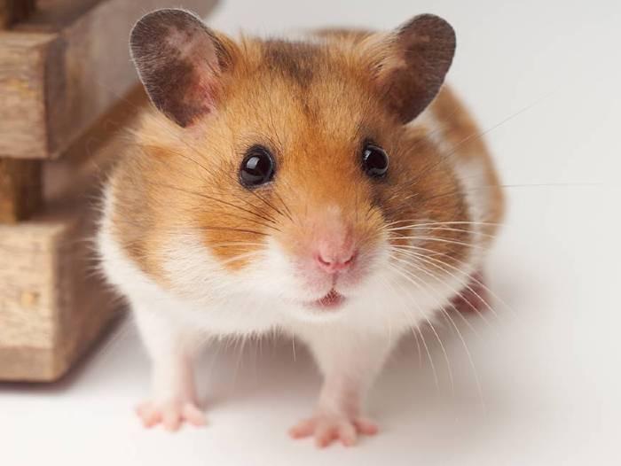 soñar con hamster